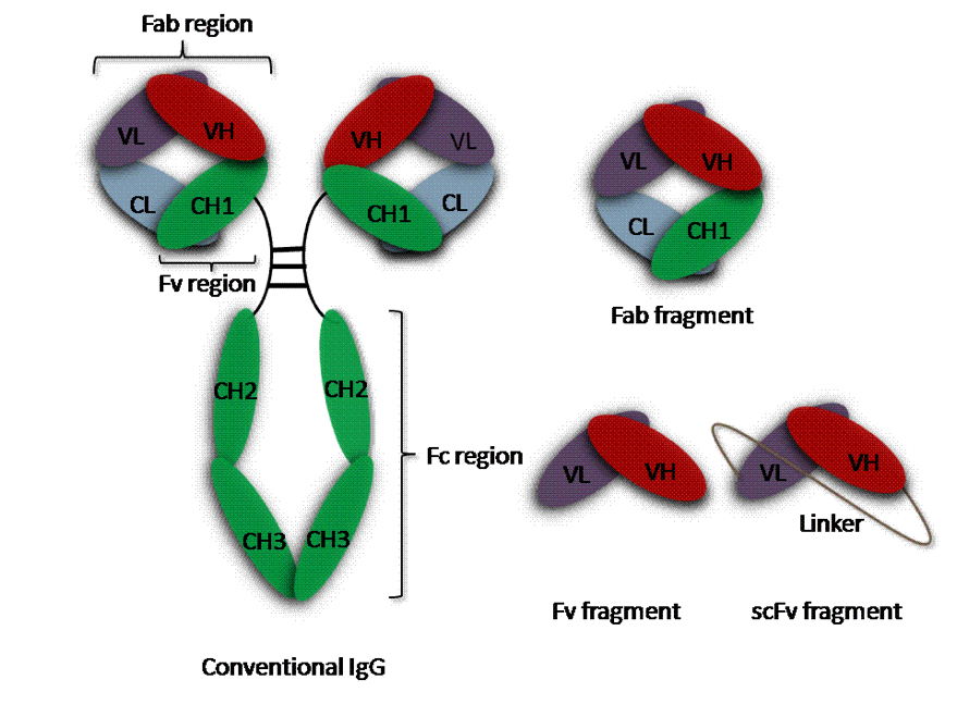 Chapter 2 4  Generation of recombinant antibodies by display